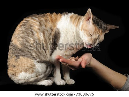 Cornish Rex Cat Eating from Hand on Black Background