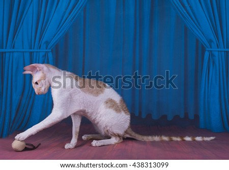 Cornish Rex is playing on stage - stock photo