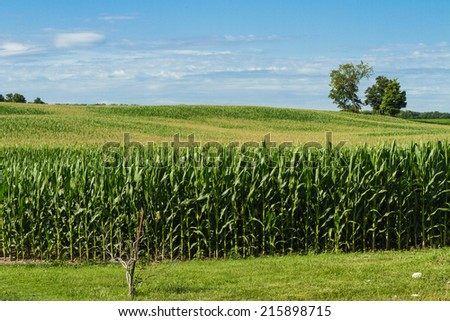 Cornstalks and tassels in a cornfield against blue sky background - stock photo