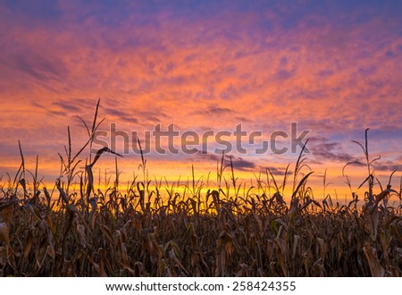 Cornstalks are silhouetted by the vivid colors of a sunset sky over America's Midwest. - stock photo