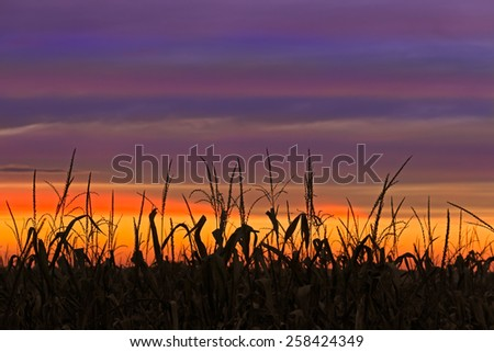 Cornstalks at harvest time are silhouetted by a very colorful sunset sky in Indiana, USA. - stock photo