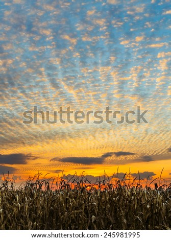 Cornstalks at harvest time stand before a glorious sunset sky in the American Midwest. - stock photo