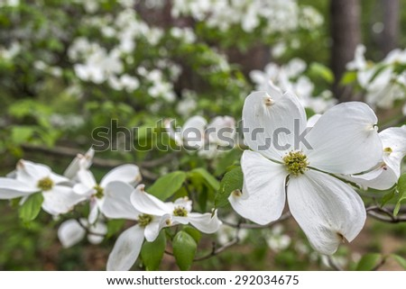 Cornus is a genus of woody plants in the family Cornaceae, commonly known as dogwoods - stock photo