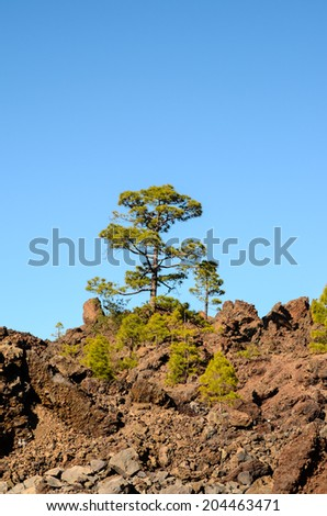 Corona Forestal in Teide National Park Tenerife with Canary Pine
