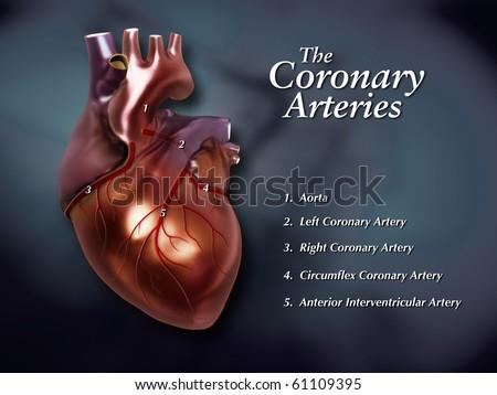 Coronary Arteries Labeled - stock photo