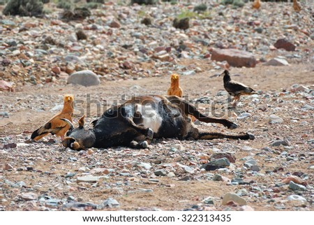 Corpse of the dead cow on the ground surrounded by vultures. Socotra island, Yemen
