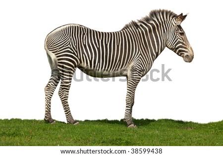 Correct zebra isolated on a white background. - stock photo