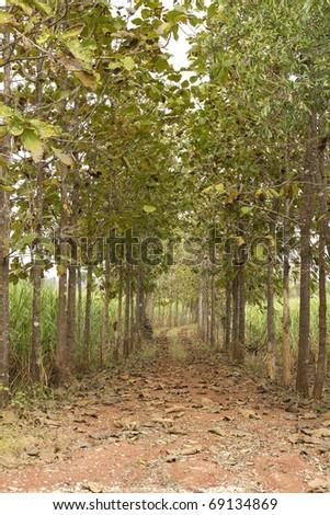 Corridors and natural teak central sugarcane stock photo