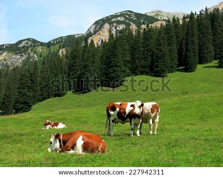 Cortina d'Ampezzo alpine spotted cows nature grass mountains, Italy. - stock photo