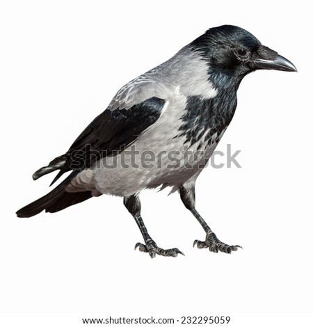 Corvus cornix, Hooded Crow is in the nature.