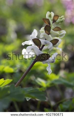 Corydalis cava - hollowroot, hollow-root, corydalis bulbosa - stock photo