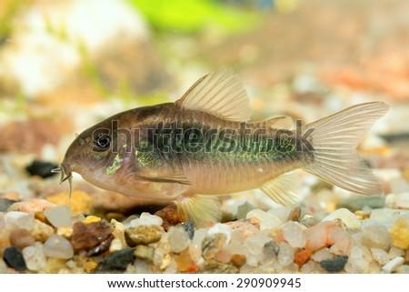 Corydoras fish on bottom of aquarium. - stock photo