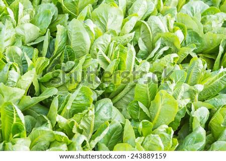 Cos Lettuce in The Garden, Thailand. - stock photo