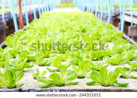 Cos Lettuce/ Romaine Lettuce hydroponics vegetable - stock photo