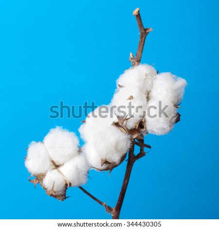 Cosiness concept cotton plant branch still life