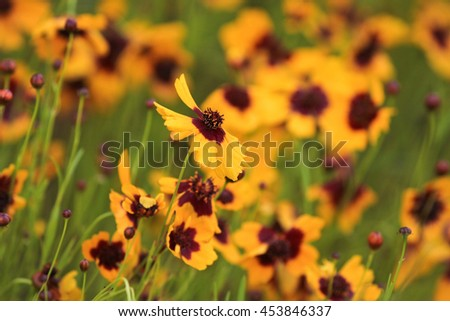 Cosmidium yellow flowers red center flowers stock photo safe to use cosmidium yellow flowers with red center the flowers grow in a thick carpet on mightylinksfo