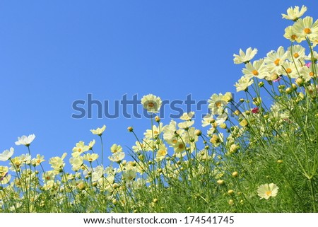 Cosmos field and blue sky - stock photo