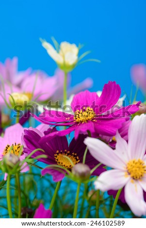 Cosmos Flower - stock photo