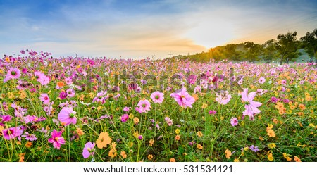 Cosmos flower and sunrise sky in the morning, Chiang Rai, Thailand.
