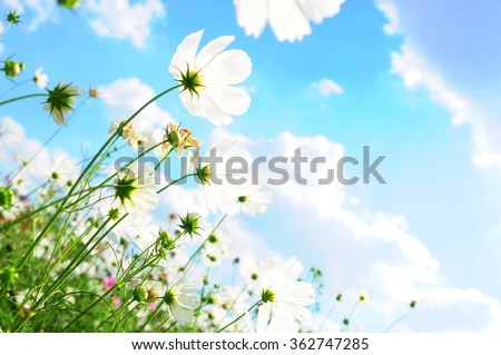 Cosmos flower and the sky - stock photo