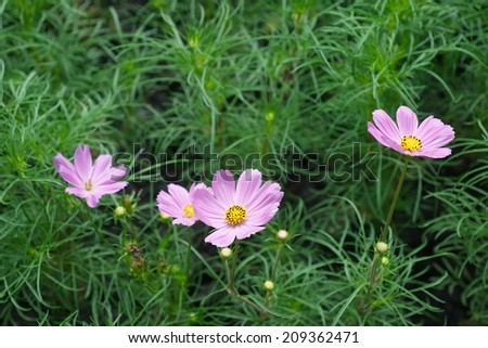 Cosmos flower  blooming meadow bud asterales park green floral spring autumn dream vivid petal fertile field bright - stock photo