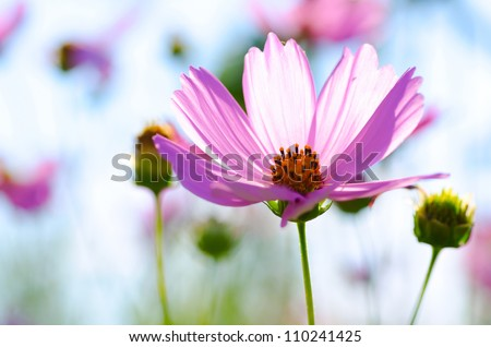 cosmos flower close up view - stock photo