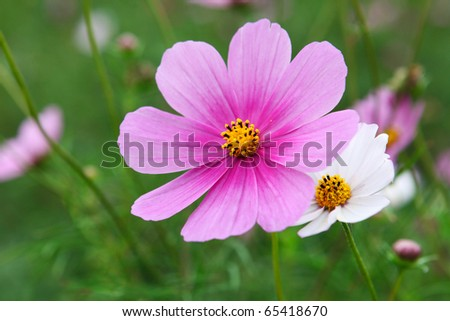 Cosmos flower closeup - stock photo