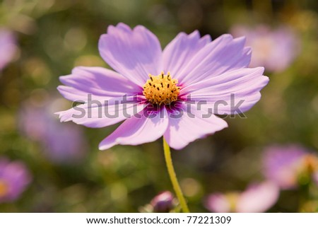 Cosmos flower closeup in sunshine - stock photo