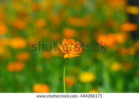 Cosmos flower(Cosmos Bipinnatus) ,cosmos, flower. - stock photo