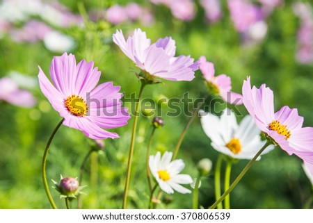 Cosmos flower (Cosmos Bipinnatus) in the garden. - stock photo