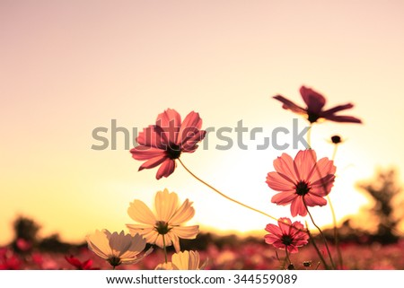 Cosmos flower in sunset  - stock photo