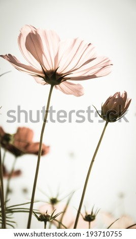 Cosmos flower in vintage - stock photo