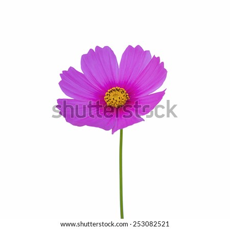 Cosmos flower isolate on white background. - stock photo