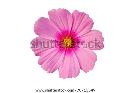 cosmos flower isolate on white background - stock photo