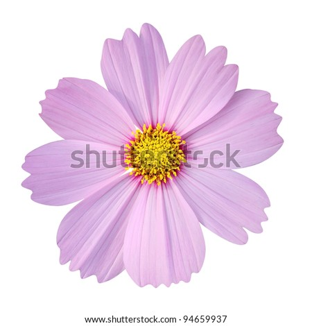 cosmos flower isolated on white background (clipping path included) - stock photo