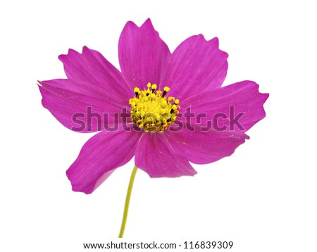 cosmos flower on a white background