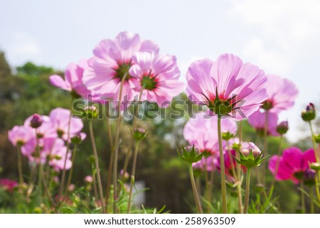 cosmos flower on blue sky background - stock photo