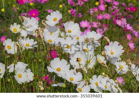 Cosmos flower on turquoise sky background
