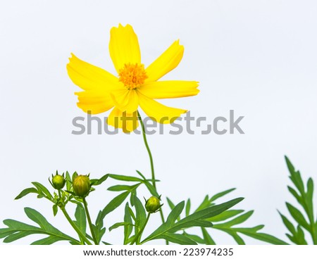 Cosmos flower on white background - stock photo