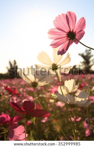 Cosmos Flower with sunlight - stock photo