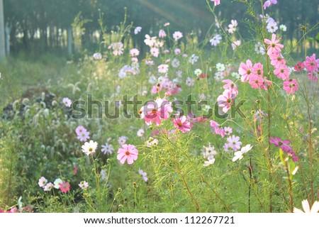 cosmos flowers - stock photo