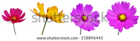 cosmos flowers are isolated on white background - stock photo