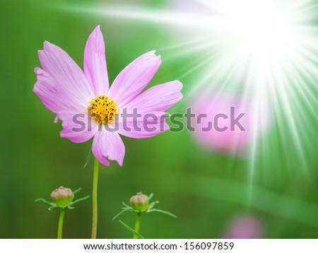 Cosmos flowers at sunrise  - stock photo