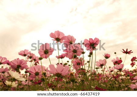 Cosmos flowers at sunset - stock photo