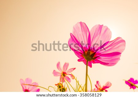 Cosmos flowers blooming garden in sunset