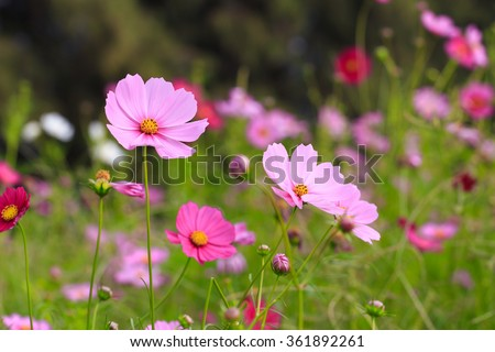 Cosmos flowers blooming in the garden. - stock photo