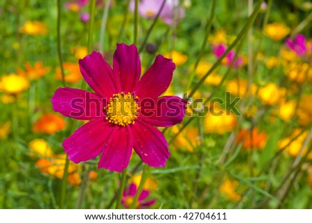 Cosmos flowers close up on flowers background - stock photo