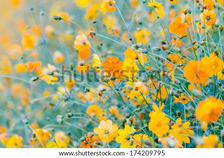 Cosmos flowers in blooming in agriculture. - stock photo