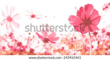 Cosmos flowers in blooming with sunset with a retro vintage instagram filter effect valentine theme. - stock photo