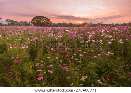 Cosmos flowers in purple, white, pink and red, beneath the sun's beautiful fall evening. - stock photo